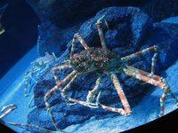 big_crab.jpg